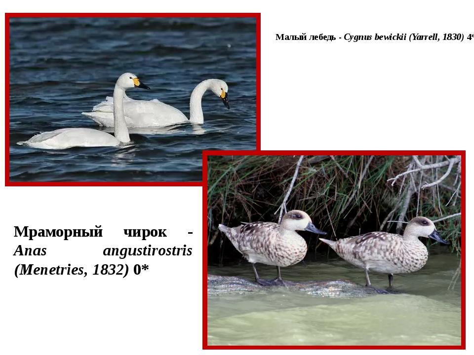 Малый лебедь - Cygnus bewickii (Yarrell, 1830) 4* Мраморный чирок - Anas angu...