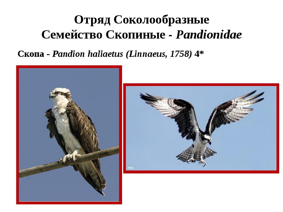 Отряд Соколообразные Семейство Скопиные - Pandionidae Скопа - Pandion haliaet...