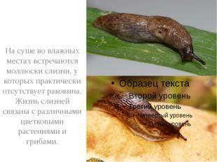 На суше во влажных местах встречаются моллюски слизни, у которых практически