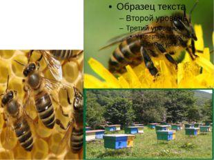 Не уступает кузнечику по полезности и медоносная пчела.