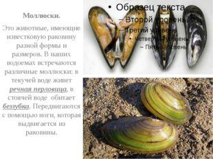 Моллюски. Это животные, имеющие известковую раковину разной формы и размеров