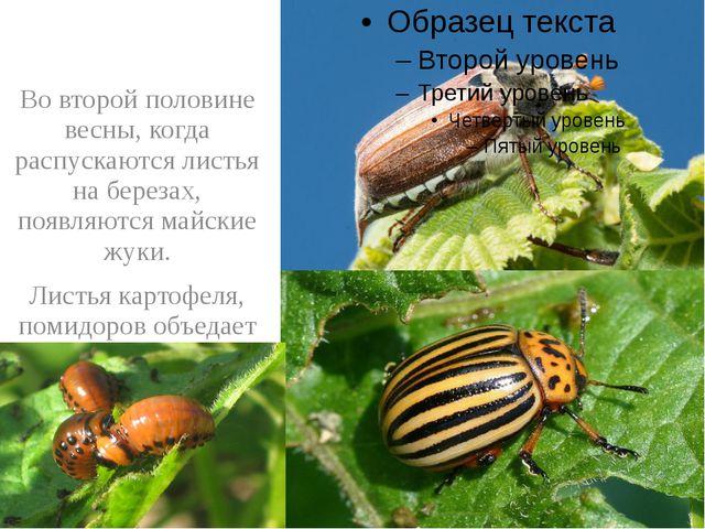 Во второй половине весны, когда распускаются листья на березах, появляются м...