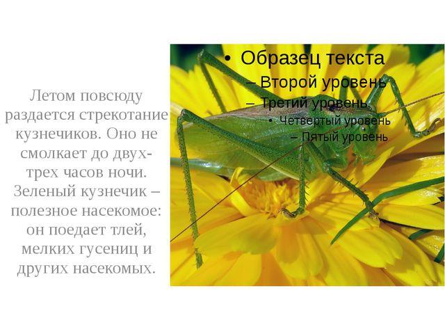 Летом повсюду раздается стрекотание кузнечиков. Оно не смолкает до двух-трех...