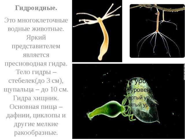 Гидроидные. Это многоклеточные водные животные. Яркий представителем являетс...