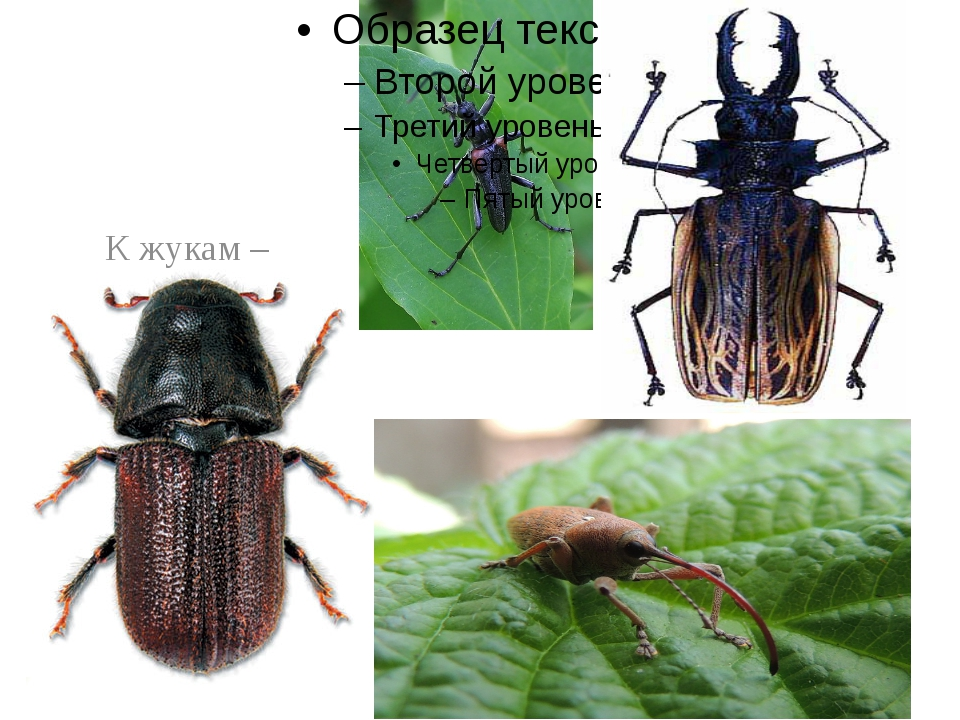 К жукам – вредителям относят короедов, усачей, дровосеков, долгоносиков.