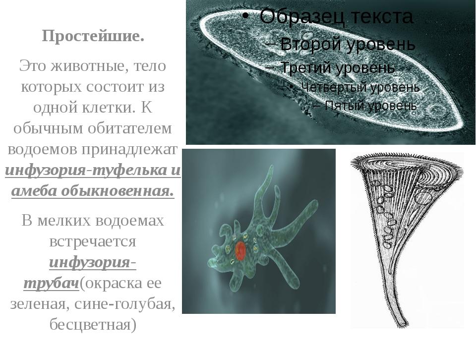 Простейшие. Это животные, тело которых состоит из одной клетки. К обычным об...