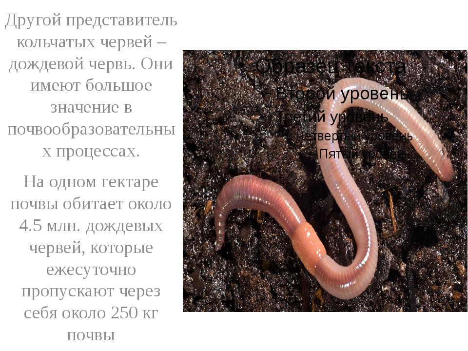 Другой представитель кольчатых червей – дождевой червь. Они имеют большое зн...