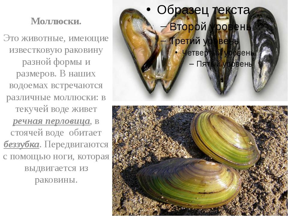 Моллюски. Это животные, имеющие известковую раковину разной формы и размеров...