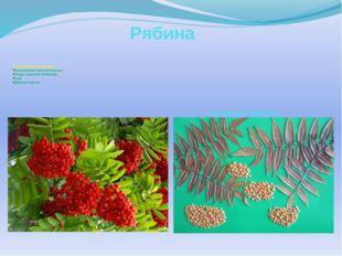 Рябина В работе использованы: Высушенные листья бузины Плоды красной чечевицы