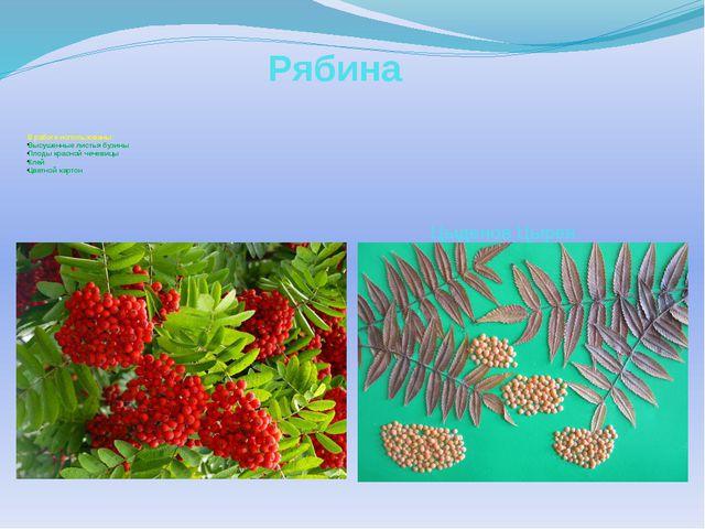 Рябина В работе использованы: Высушенные листья бузины Плоды красной чечевицы...