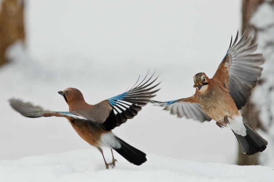 http://picsfab.com/download/image/147822/960x640_ptitsa-krasota-ptitsyi-mira-sojki-polet-sneg-para.jpg