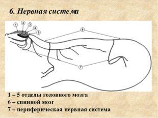6. Нервная система 1 – 5 отделы головного мозга 6 – спинной мозг 7 – перифер