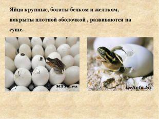 Яйца крупные, богаты белком и желтком, покрыты плотной оболочкой , развивают