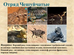 Отряд Чешуйчатые Ящерицы. Верхний ряд, слева направо: гекконовые (гребнепалый