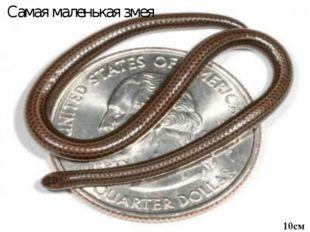 Самая маленькая змея 10см