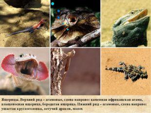 Ящерицы. Верхний ряд – агамовые, слева направо: каменная африканская агама,
