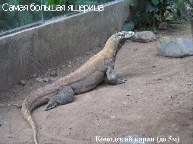 Комодский варан (до 5м) Самая большая ящерица