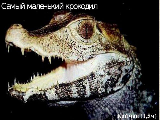 Самый маленький крокодил Кайман (1,5м)