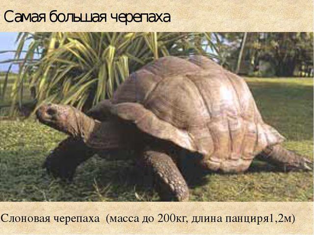 Самая большая черепаха Слоновая черепаха (масса до 200кг, длина панциря1,2м)