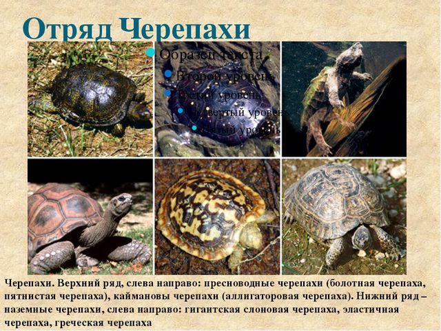 Отряд Черепахи Черепахи. Верхний ряд, слева направо: пресноводные черепахи (б...