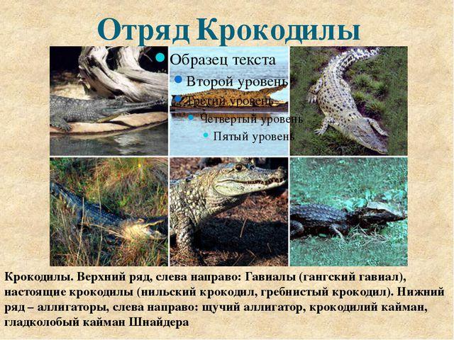 Отряд Крокодилы Крокодилы. Верхний ряд, слева направо: Гавиалы (гангский гави...