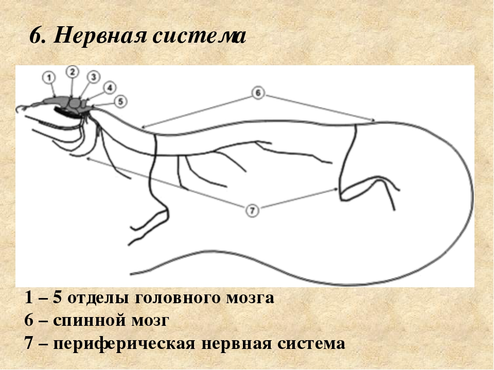 6. Нервная система 1 – 5 отделы головного мозга 6 – спинной мозг 7 – перифер...