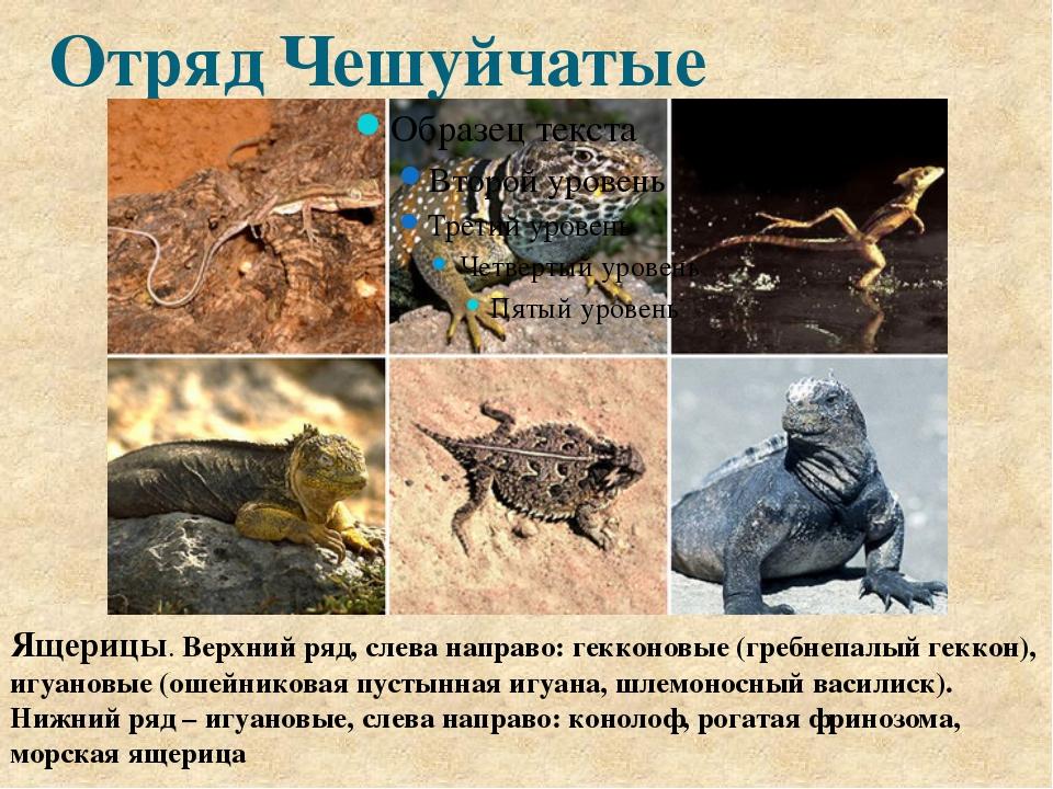 Отряд Чешуйчатые Ящерицы. Верхний ряд, слева направо: гекконовые (гребнепалый...