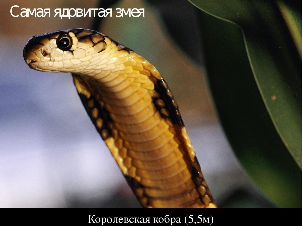 Королевская кобра (5,5м) Самая ядовитая змея