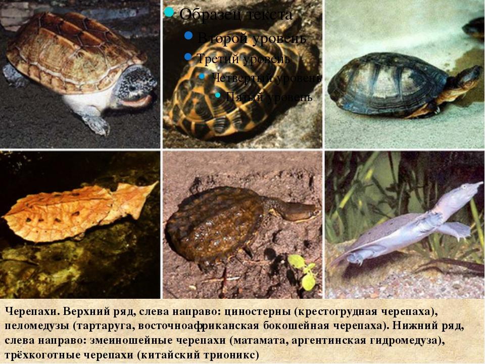 Черепахи. Верхний ряд, слева направо: циностерны (крестогрудная черепаха), п...