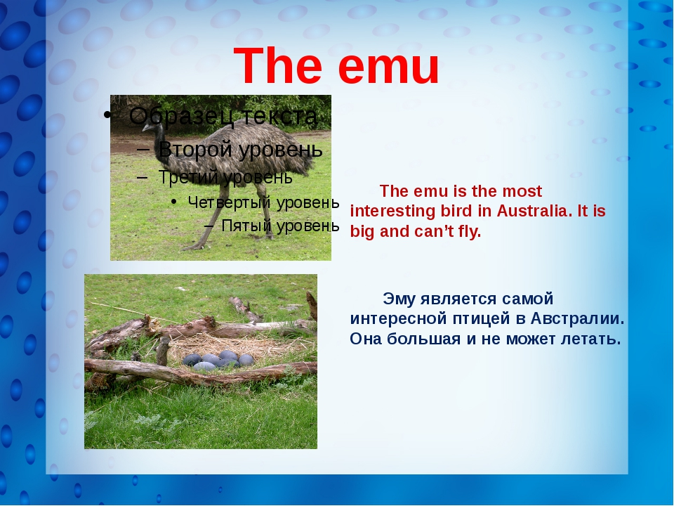 The emu The emu is the most interesting bird in Australia. It is big and can...