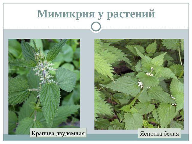 Мимикрия у растений Крапива двудомная Яснотка белая