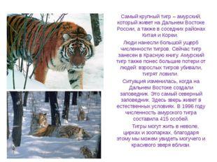 Самый крупный тигр – амурский, который живет на Дальнем Востоке России, а так