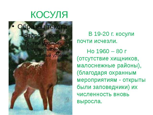 КОСУЛЯ В 19-20 г. косули почти исчезли. Но 1960 – 80 г (отсутствие хищников,...
