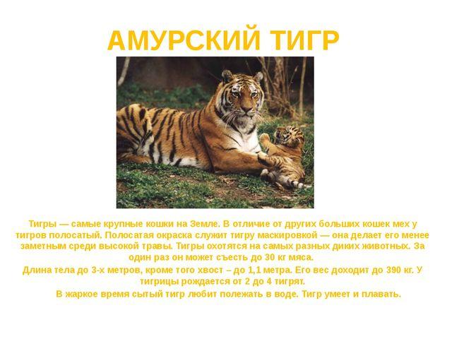 АМУРСКИЙ ТИГР Тигры — самые крупные кошки на Земле. В отличие от других больш...
