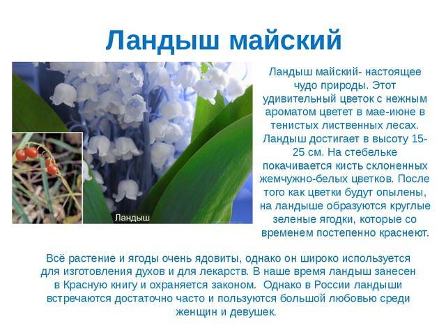Ландыш майский Ландыш майский- настоящее чудо природы. Этот удивительный цвет...