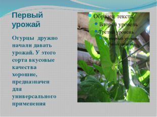 Первый урожай Огурцы дружно начали давать урожай. У этого сорта вкусовые каче