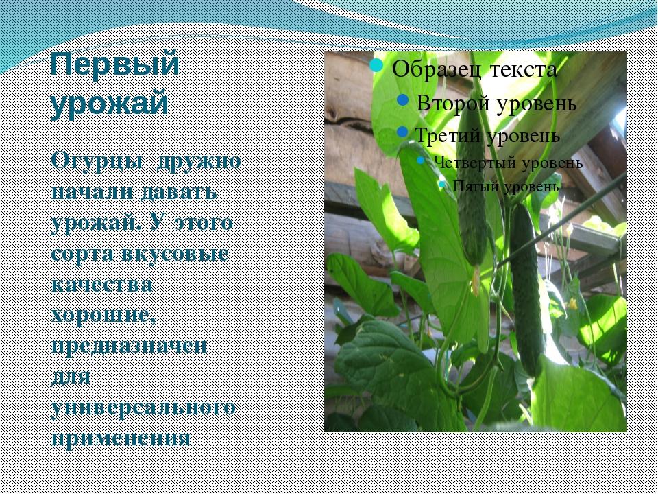 Первый урожай Огурцы дружно начали давать урожай. У этого сорта вкусовые каче...