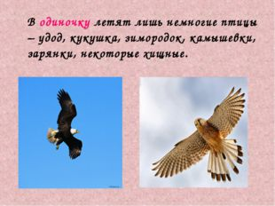 В одиночку летят лишь немногие птицы – удод, кукушка, зимородок, камышевки,