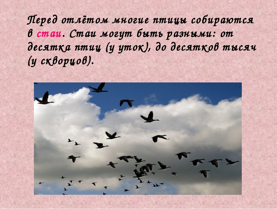 Перед отлётом многие птицы собираются в стаи. Стаи могут быть разными: от де...