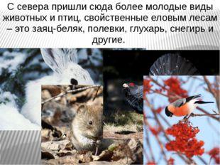 С севера пришли сюда более молодые виды животных и птиц, свойственные еловым