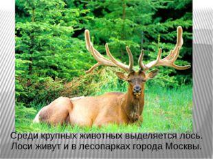 Среди крупных животных выделяется лось. Лоси живут и в лесопарках города Моск