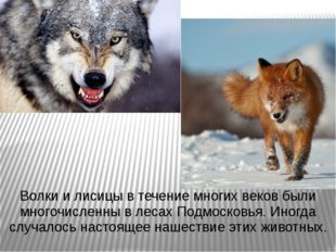 Волки и лисицы в течение многих веков были многочисленны в лесах Подмосковья.