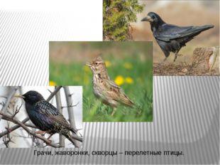 Грачи, жаворонки, скворцы – перелетные птицы.