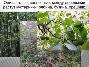 Они светлые, солнечные, между деревьями растут кустарники: рябина, бузина, ор