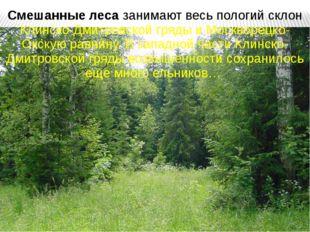 Смешанные леса занимают весь пологий склон Клинско-Дмитровской гряды и Москво