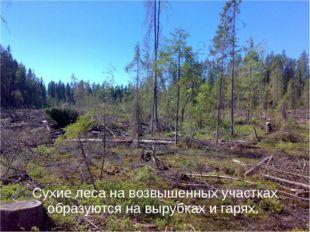 Сухие леса на возвышенных участках образуются на вырубках и гарях.