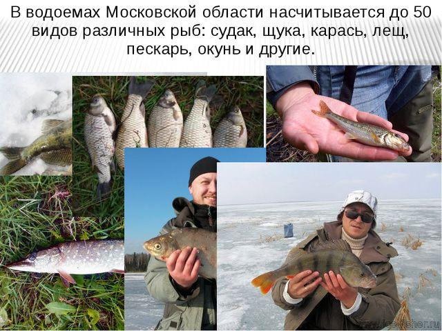 В водоемах Московской области насчитывается до 50 видов различных рыб: судак,...