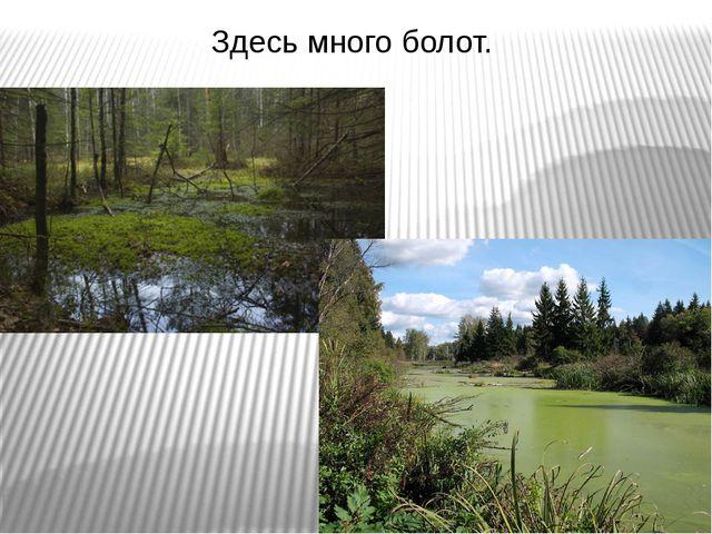 Здесь много болот.