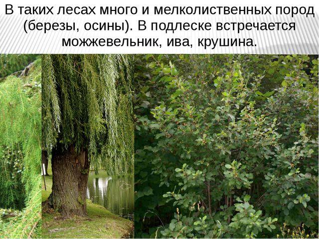 В таких лесах много и мелколиственных пород (березы, осины). В подлеске встре...