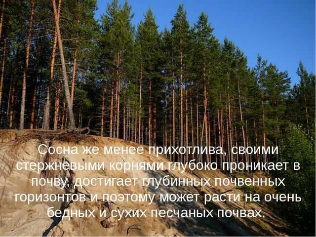 Сосна же менее прихотлива, своими стержневыми корнями глубоко проникает в поч...
